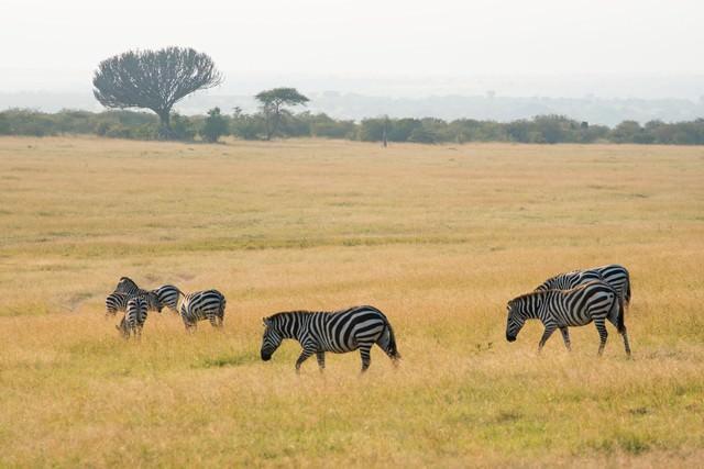 シマウマの群れ(アフリカ)の写真