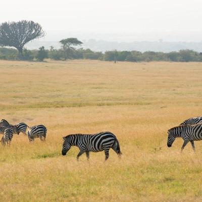 「シマウマの群れ(アフリカ)」の写真素材