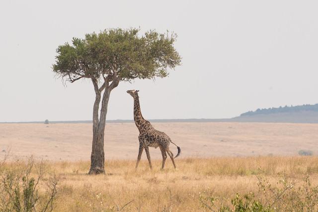 サバンナで高い木を食べるキリンの写真