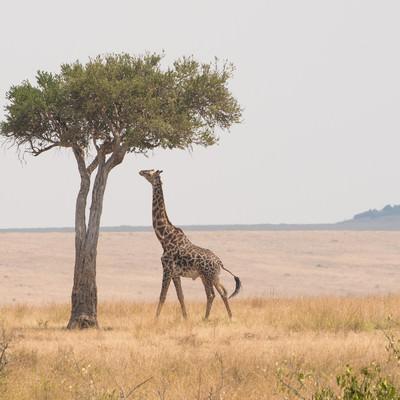「サバンナで高い木を食べるキリン」の写真素材