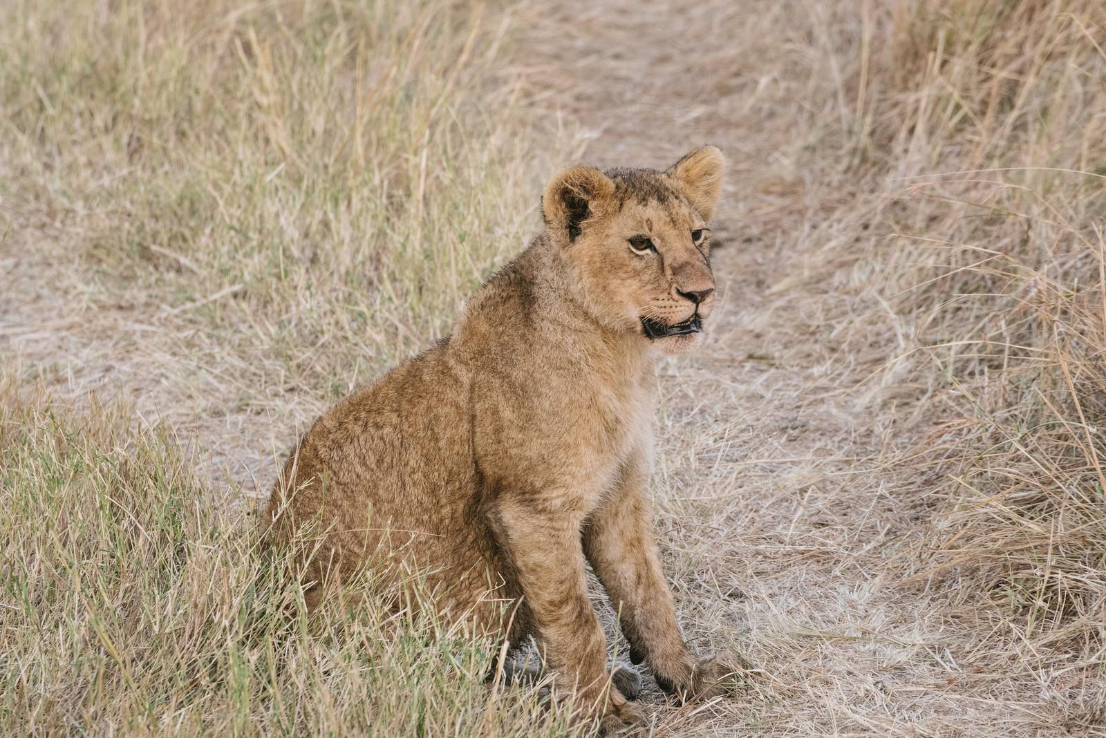 「あたりを見回すライオン」の写真