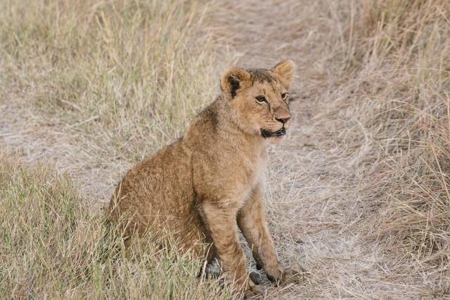 あたりを見回すライオンの写真