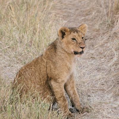 「あたりを見回すライオン」の写真素材