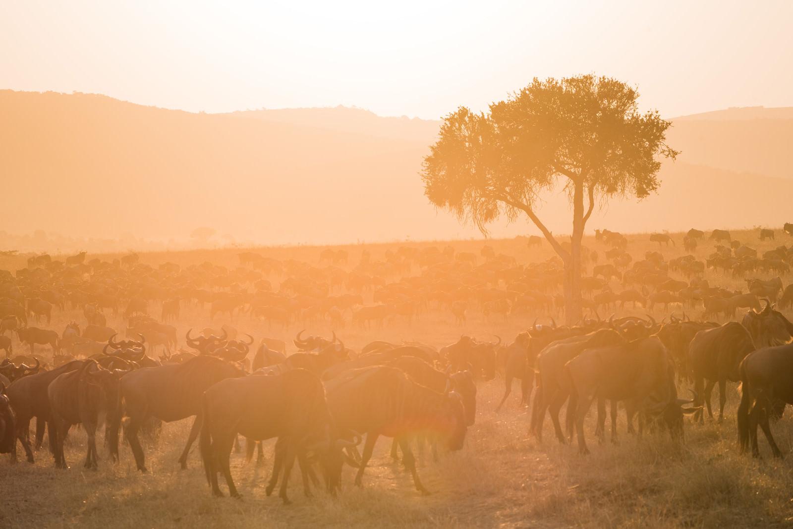 「数百頭ものヌーの群れ」の写真