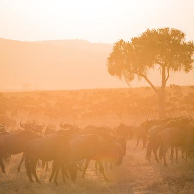 「数百頭ものヌーの群れ」の写真素材