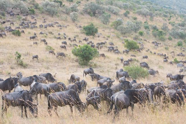 ヌーの群れが大移動の写真