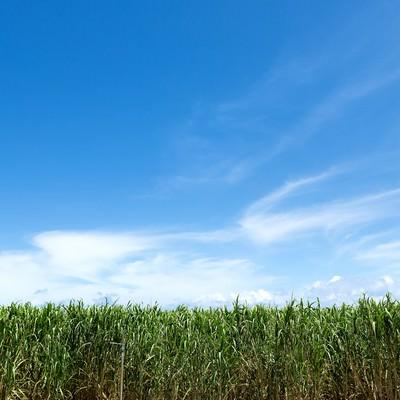 サトウキビ畑と宮古島の青空の写真