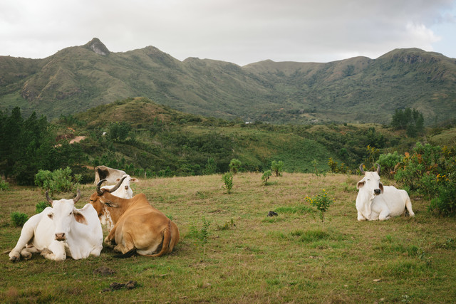 山岳地帯の牛の写真