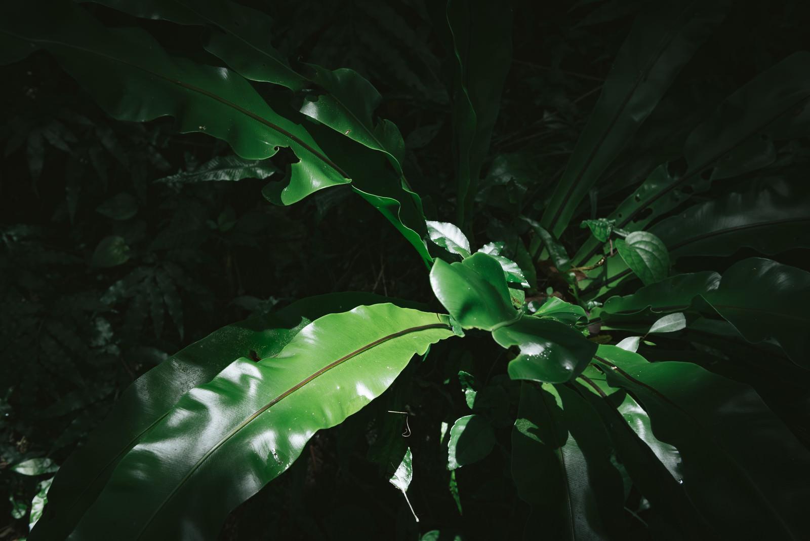 「オオタニワタリオオタニワタリ」のフリー写真素材を拡大