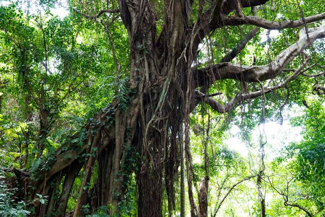 亜熱帯の森(ガンガラーの谷)の写真