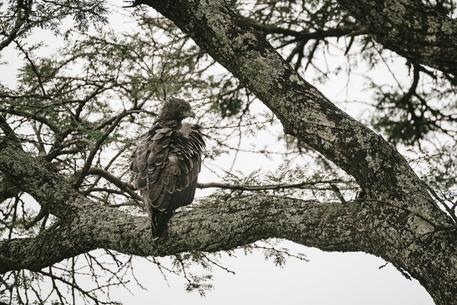 「殺気漂う鷹殺気漂う鷹」のフリー写真素材を拡大