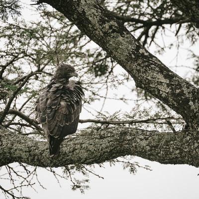 「殺気漂う鷹」の写真素材