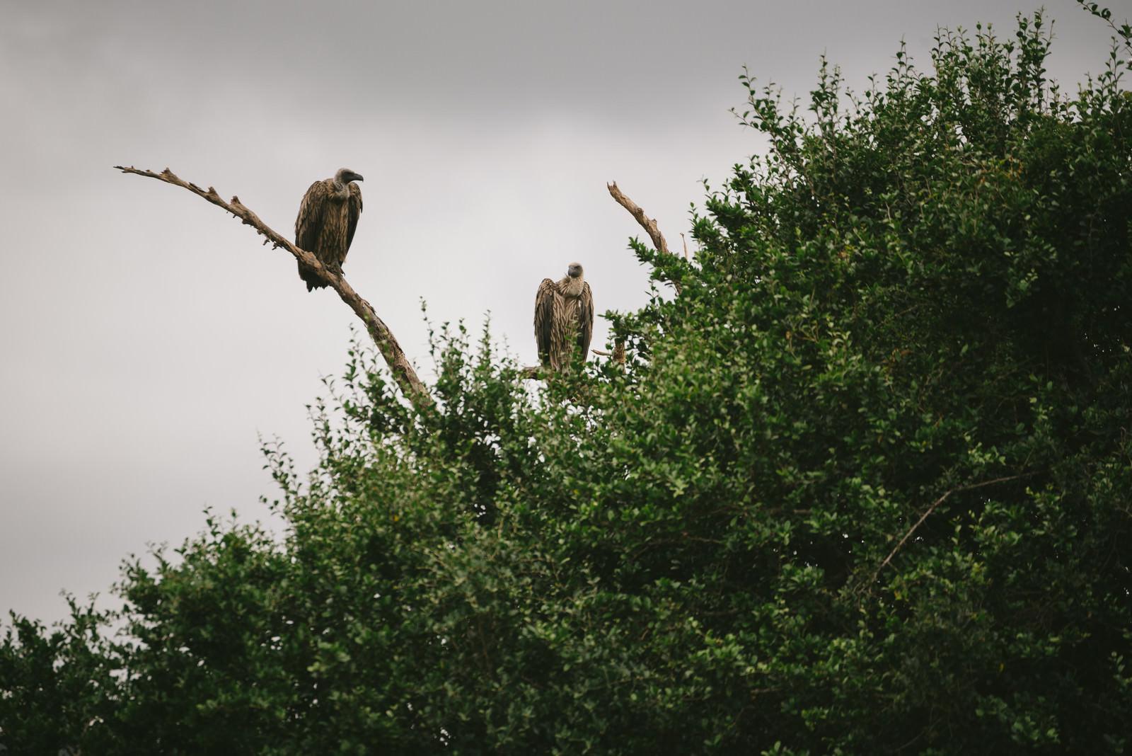 「高所から辺を見回すハゲワシ高所から辺を見回すハゲワシ」のフリー写真素材を拡大