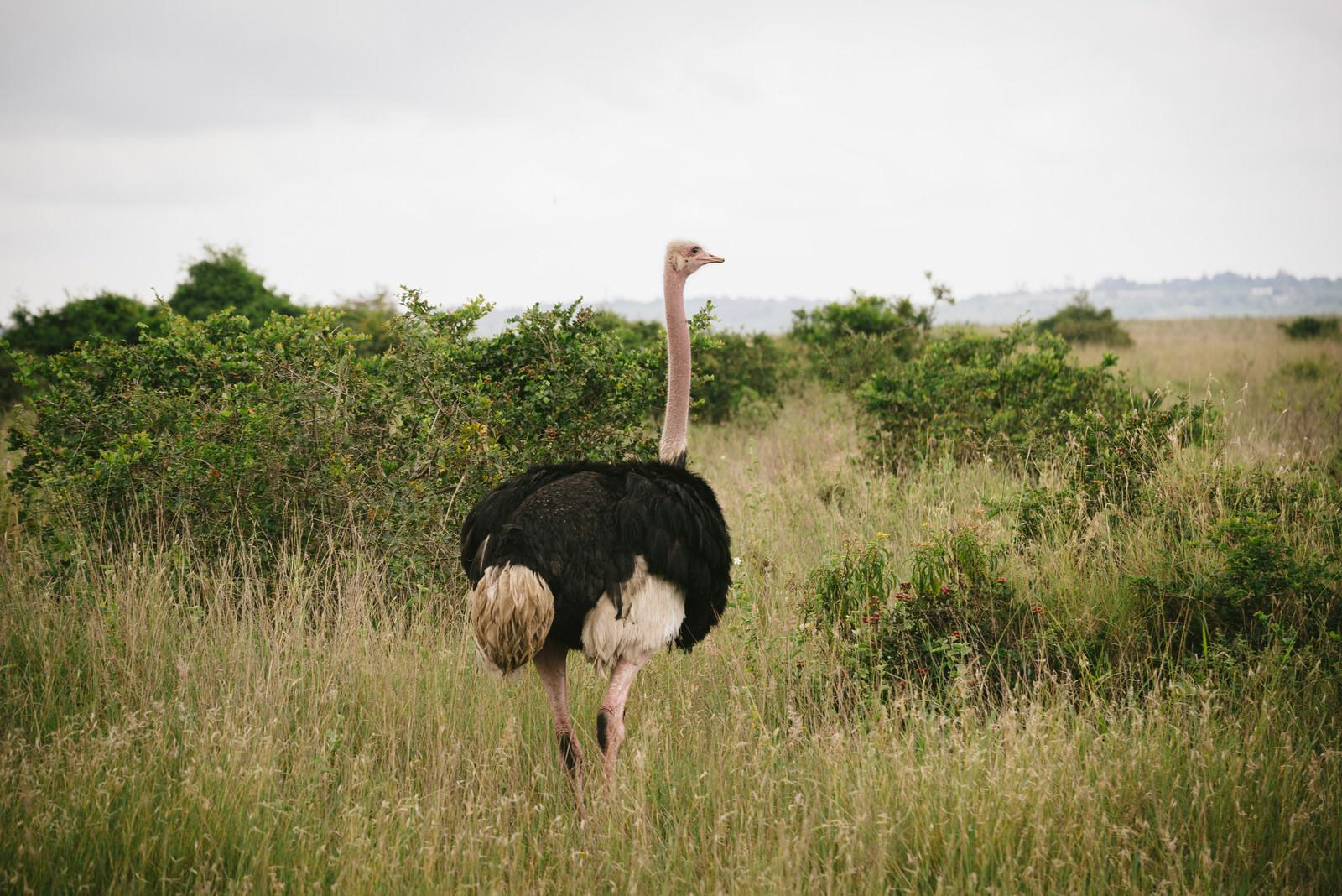 「サバンナのダチョウサバンナのダチョウ」のフリー写真素材を拡大