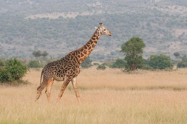 草原を歩くキリンの写真