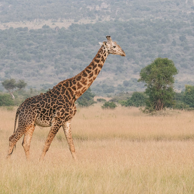 「草原を歩くキリン」の写真素材