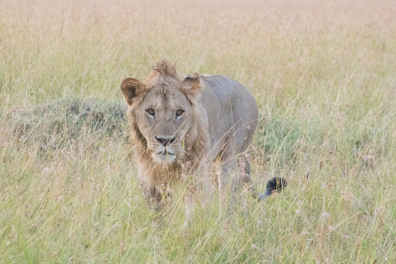 「サファリと百獣の王(ライオン)」の写真