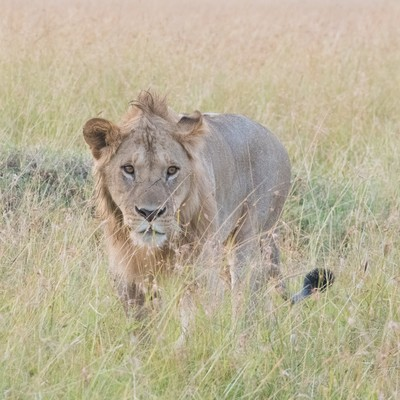 「サファリと百獣の王(ライオン)」の写真素材