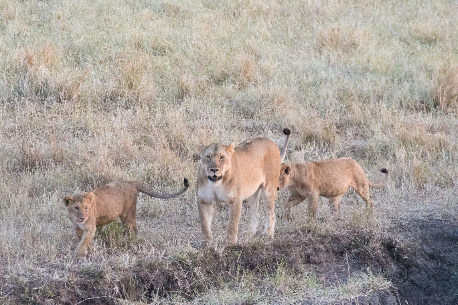 「メスの親ライオンと子ライオン(2匹)メスの親ライオンと子ライオン(2匹)」のフリー写真素材を拡大