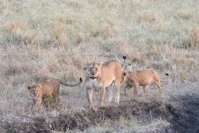 メスの親ライオンと子ライオン(2匹)