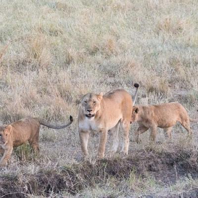 メスの親ライオンと子ライオン(2匹)の写真