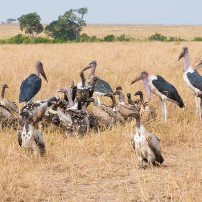 「死肉に群がるハゲワシ」の写真素材