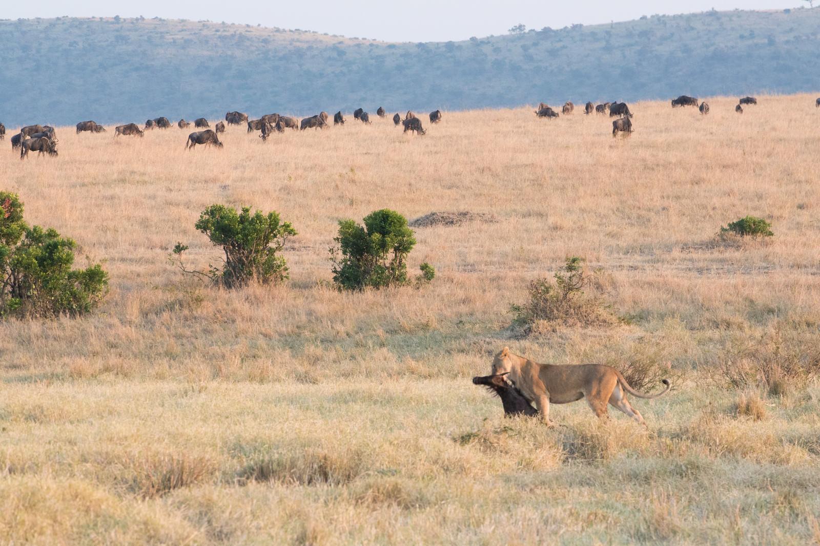 「狩りに成功したライオン」の写真