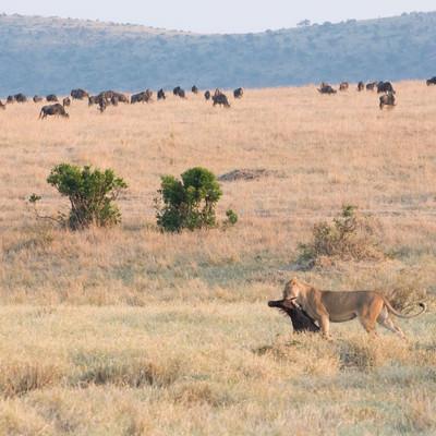 狩りに成功したライオンの写真