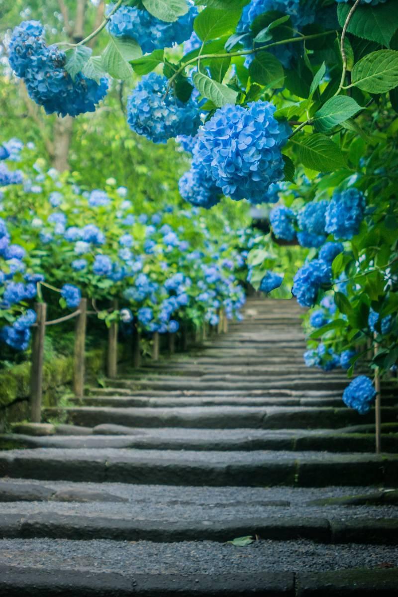 「階段沿いに咲く紫陽花」の写真