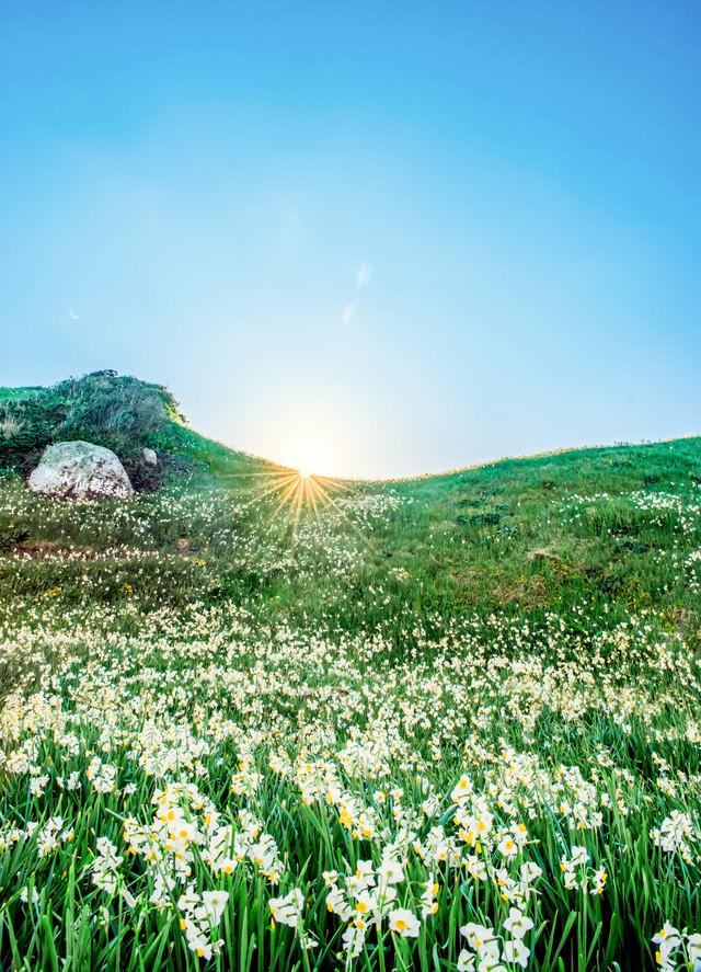 一面に広がるスイセンの丘の写真