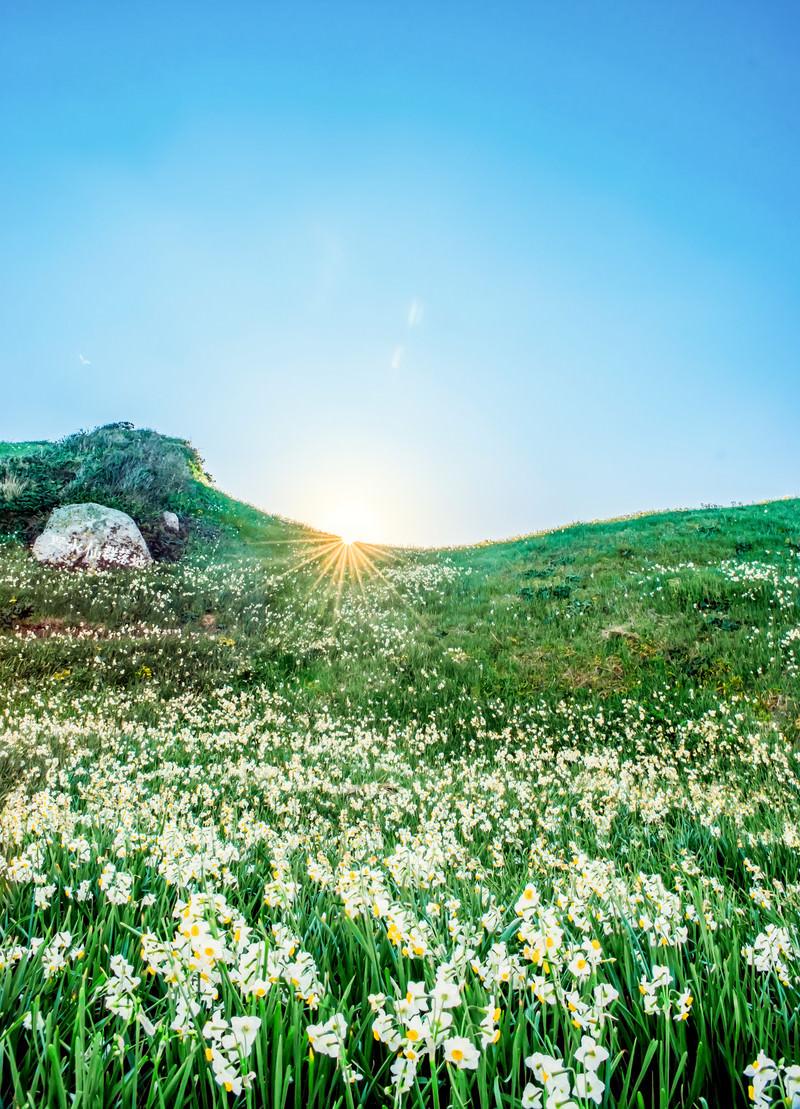 「一面に広がるスイセンの丘」の写真