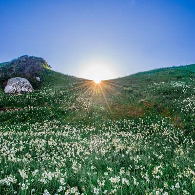 草原に咲く水仙群の写真