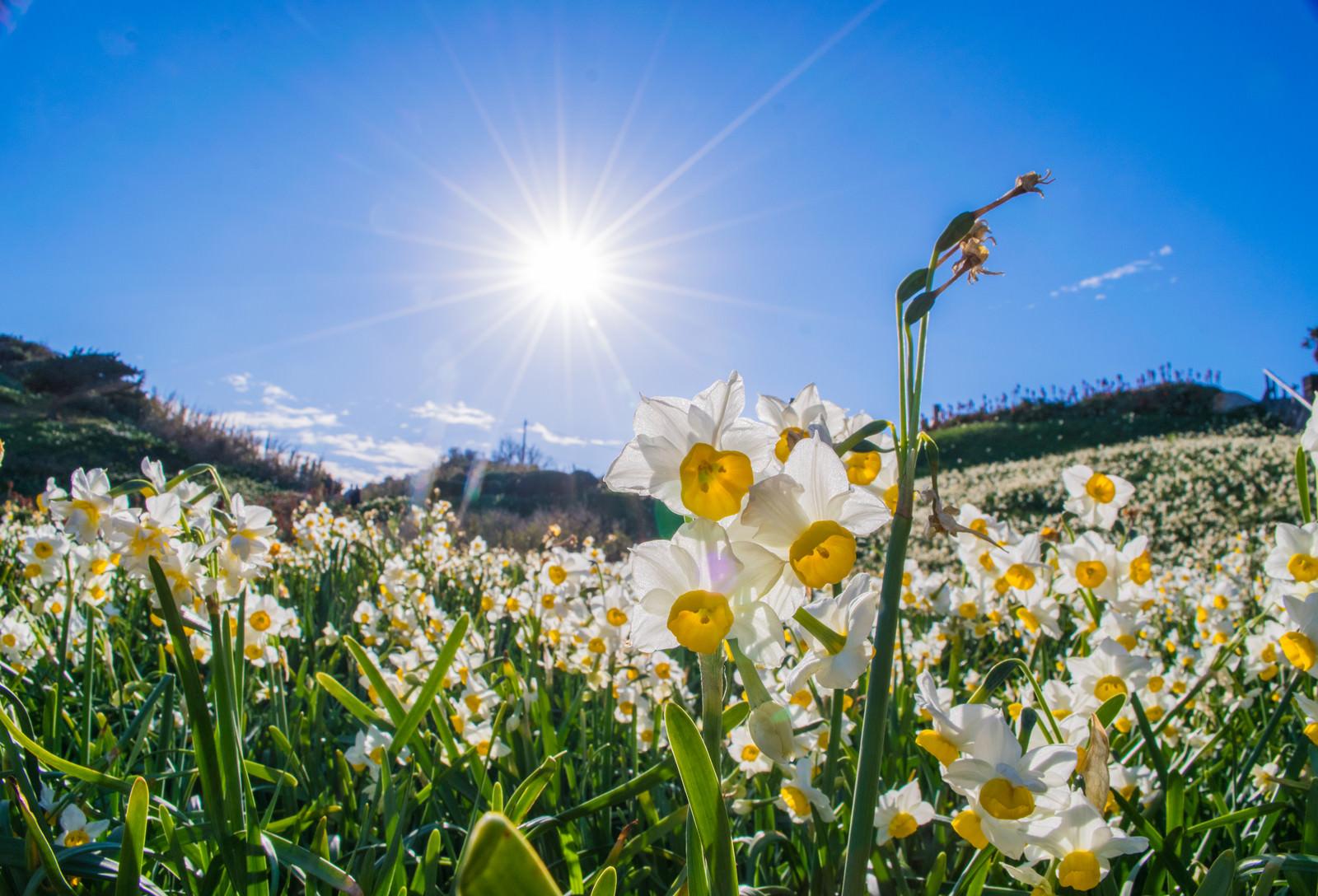 「スイセンの花と光芒」の写真