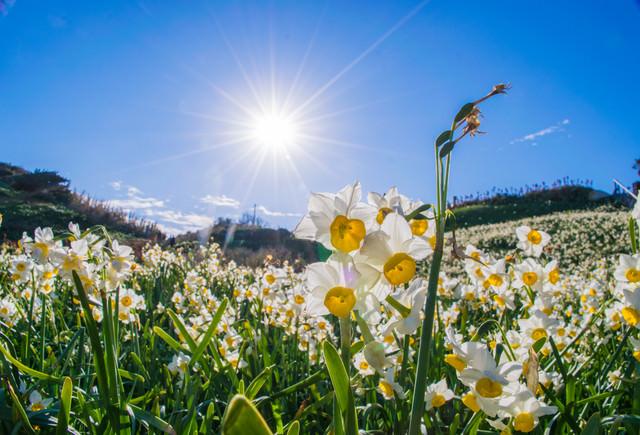 スイセンの花と光芒の写真