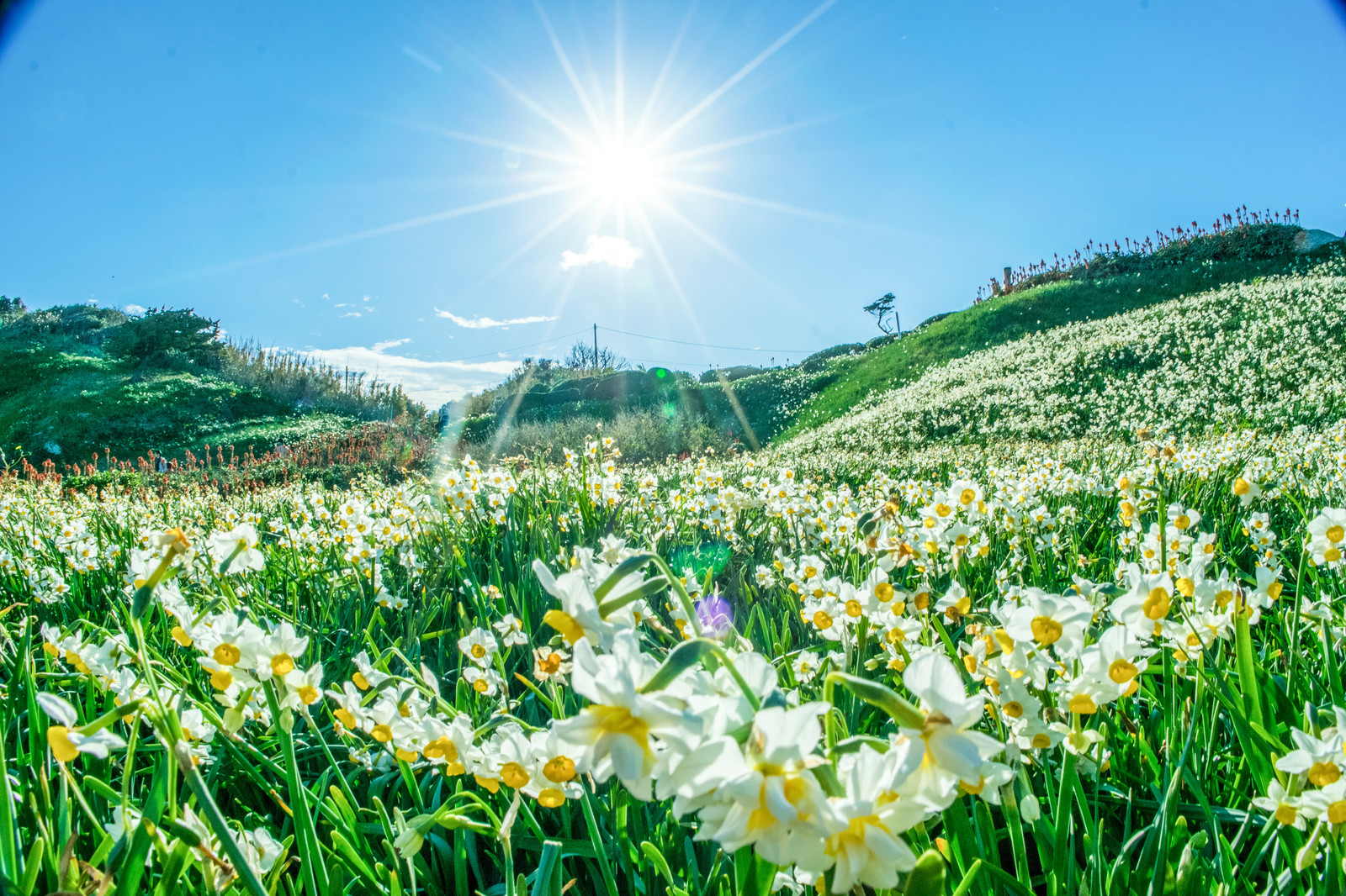 「日差しを浴びる一面の水仙群」の写真