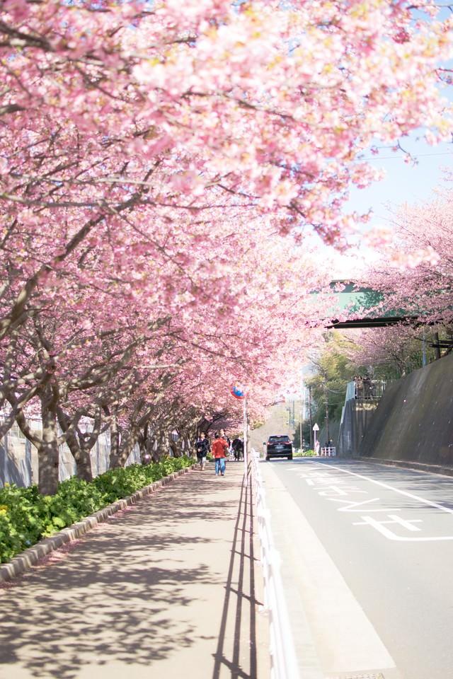 桜満開の歩道の写真