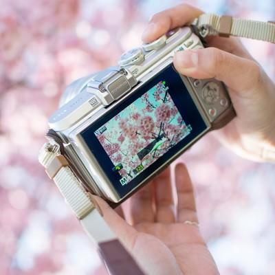 桜の撮れ高を確認するカメラマンの写真