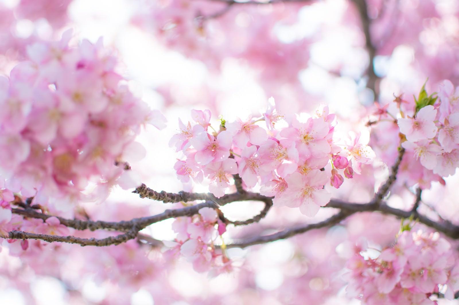 「春爛漫」の写真