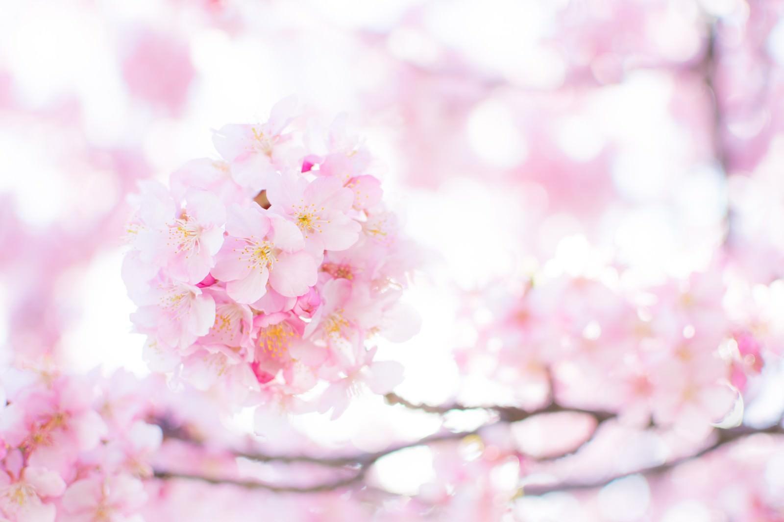 「春の桜 | 写真の無料素材・フリー素材 - ぱくたそ」の写真