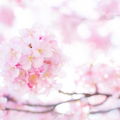春の桜の写真