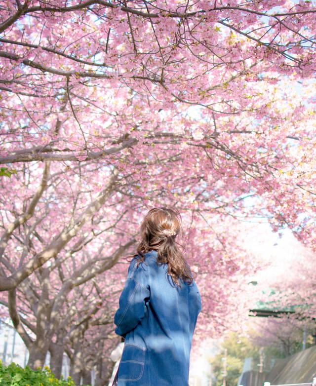 満開の桜を見上げる女性の写真