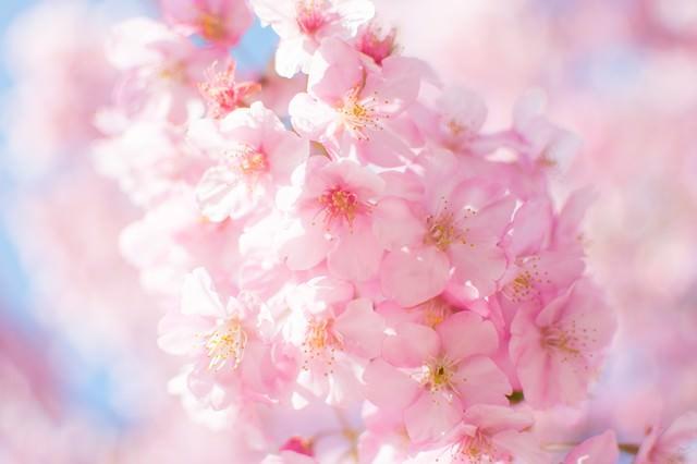 ピンク色の桜の開花の写真