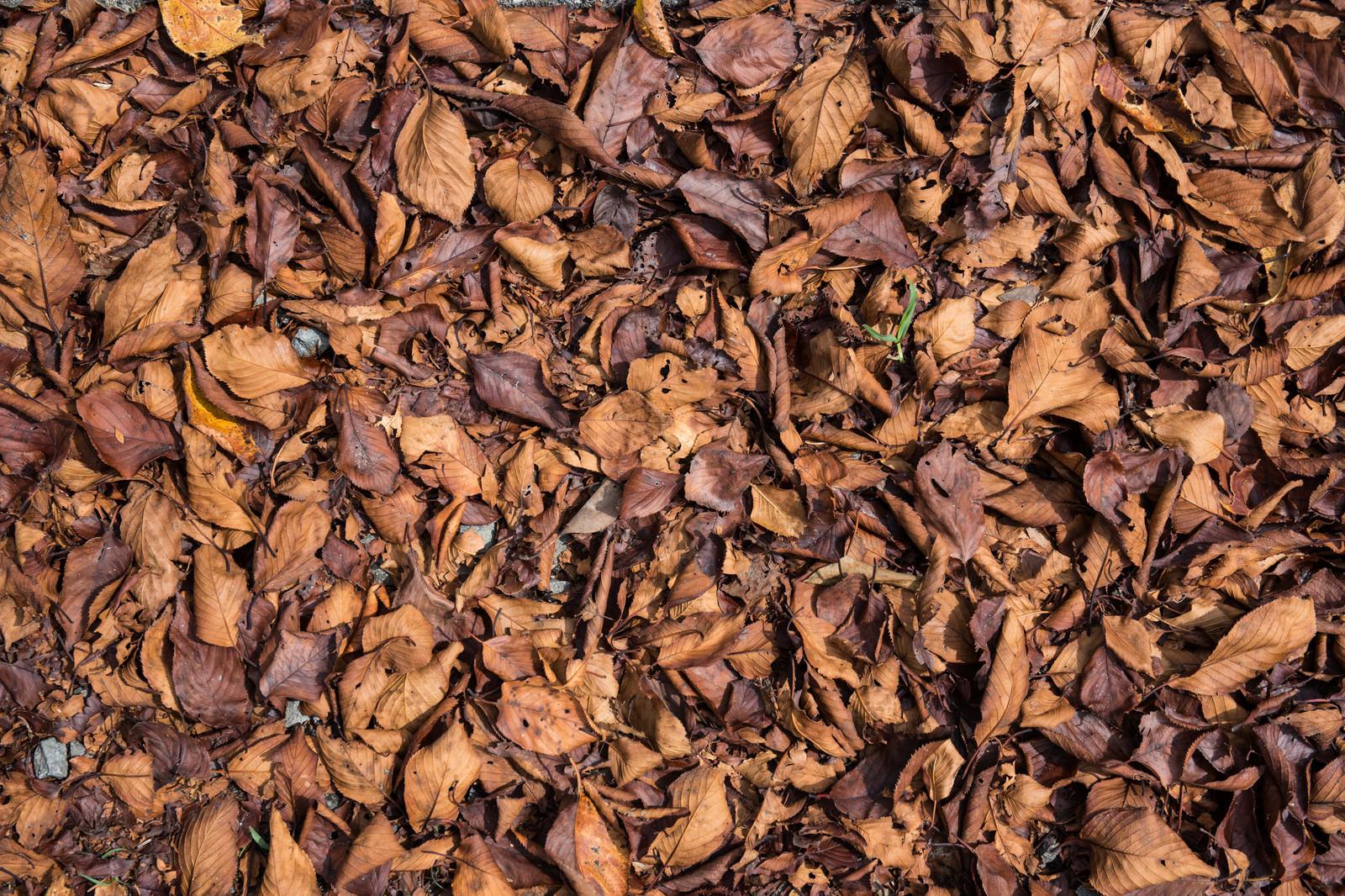 「枯れ落ちた葉のテクスチャ」の写真