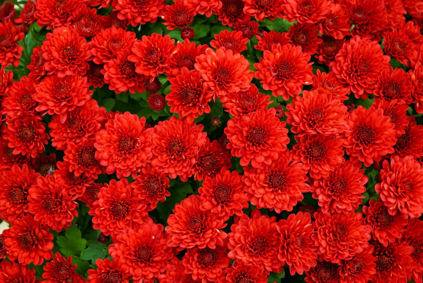 「赤い菊のテクスチャ」の写真