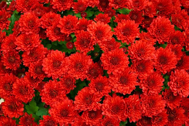赤い菊のテクスチャの写真