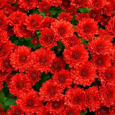 「赤い菊のテクスチャ」の写真素材