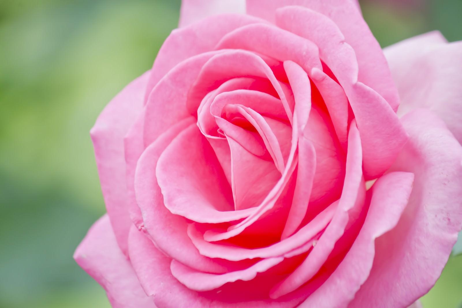 「エスメラルダの薔薇」の写真