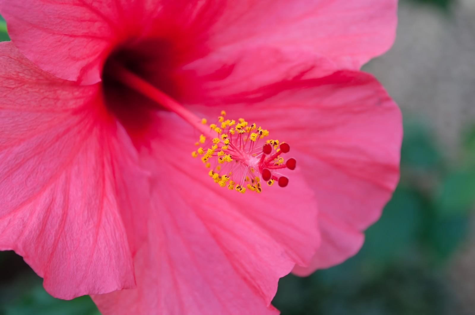 「ピンク色のハイビスカス」の写真