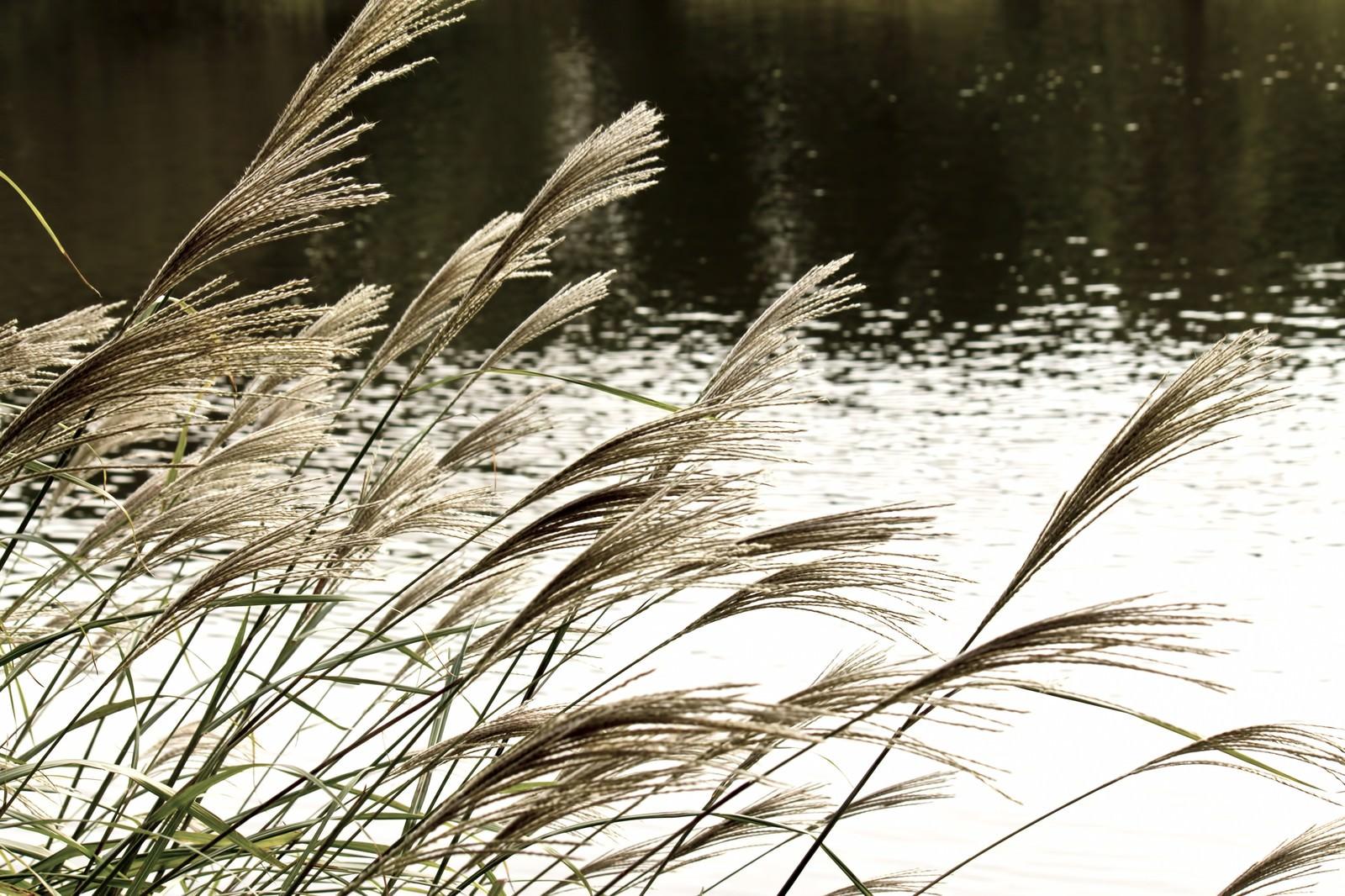 「池と銀色のススキ」の写真