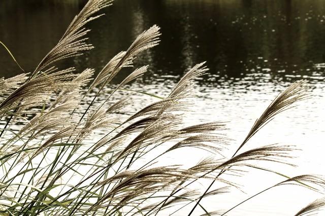 池と銀色のススキの写真